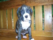 Boxer Puppies  AKC registered Great bloodline