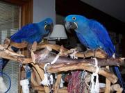 WELL TRAIN Hyacinth Macaw Parrots For Adoption