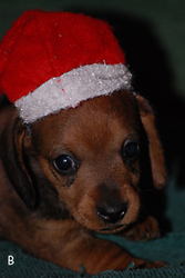 Mini Dachshund Puppies in Northwest Arkansas APRI Registered $150